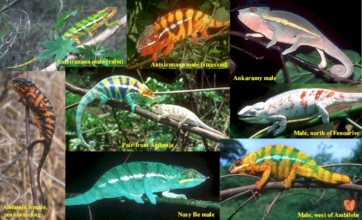 H2g2 Colours Of Wildlife Panther Chameleon